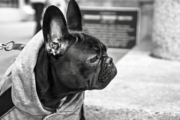 Pug-Gratisography-600x400