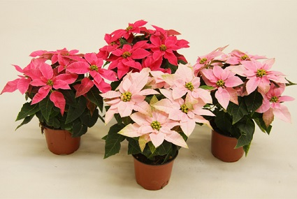 Flor de nochebuena como regalo para clientes