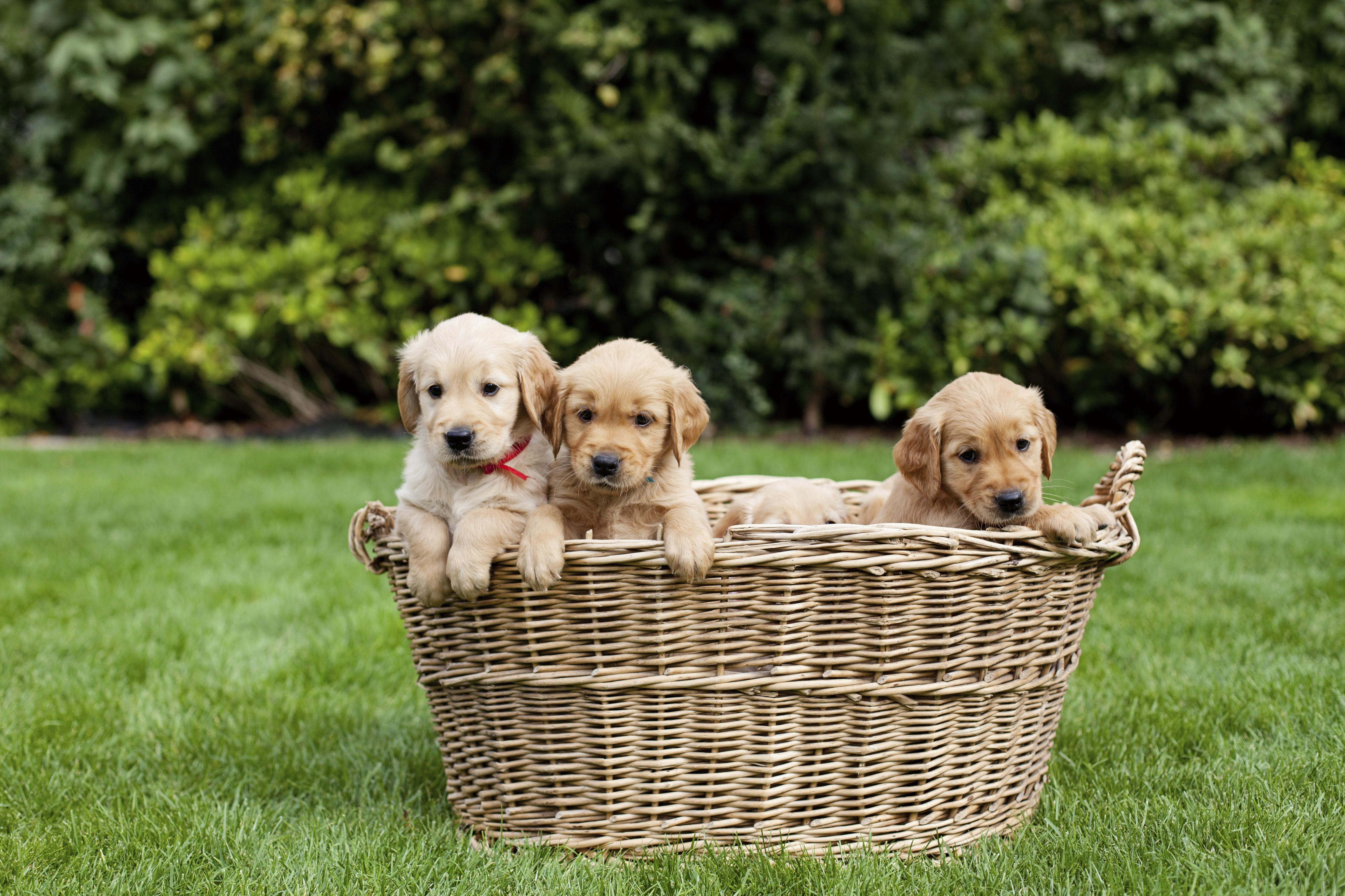 Cachorros-de-Golden-Retriever-en-una-canasta